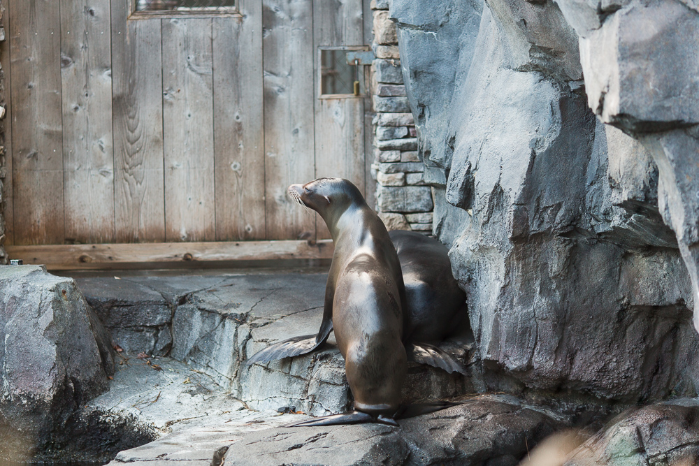 Sea lion at the Smithsonian National Zoo