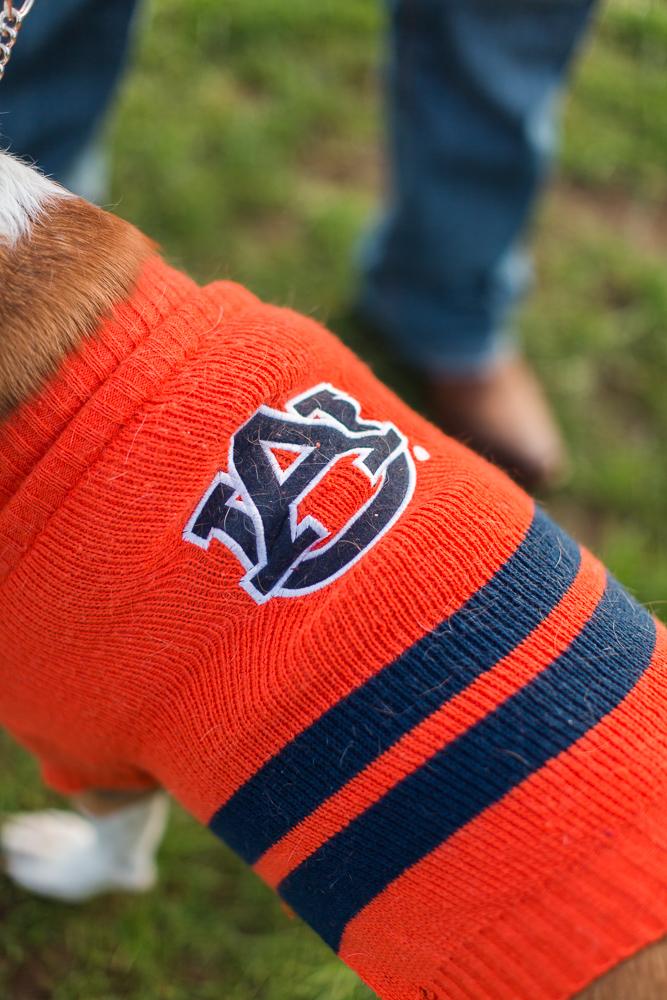Dog wearing Auburn University sweater