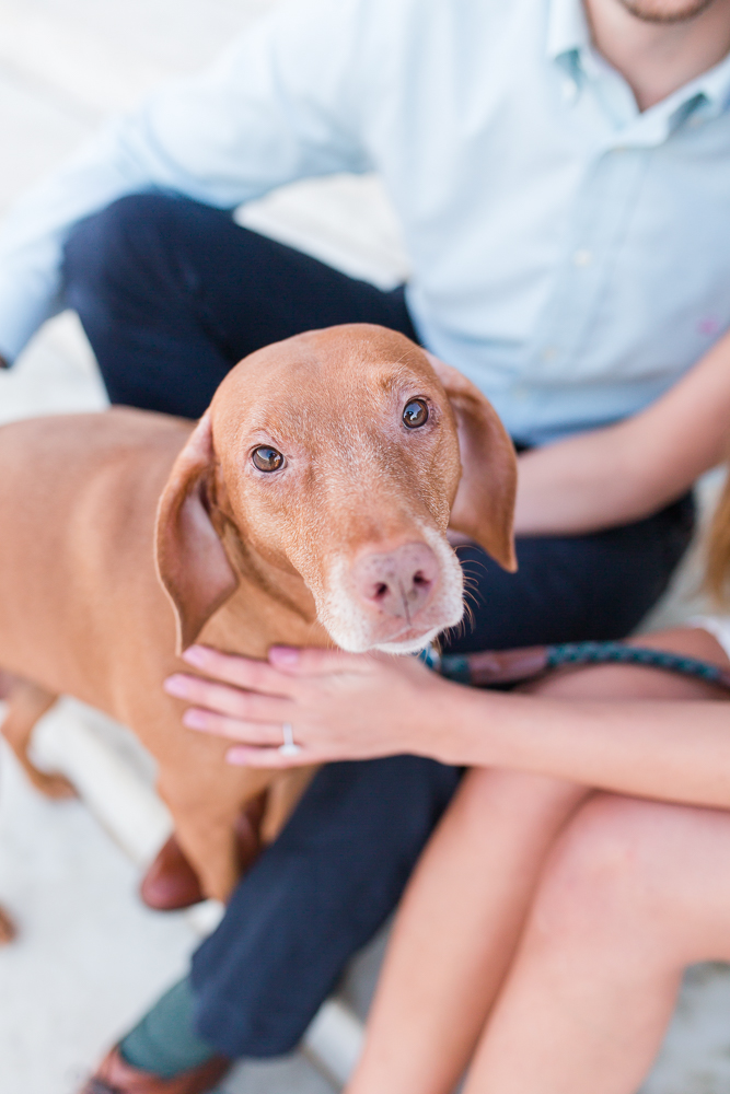 Vizsla looking at the camera during her parents' engagement session