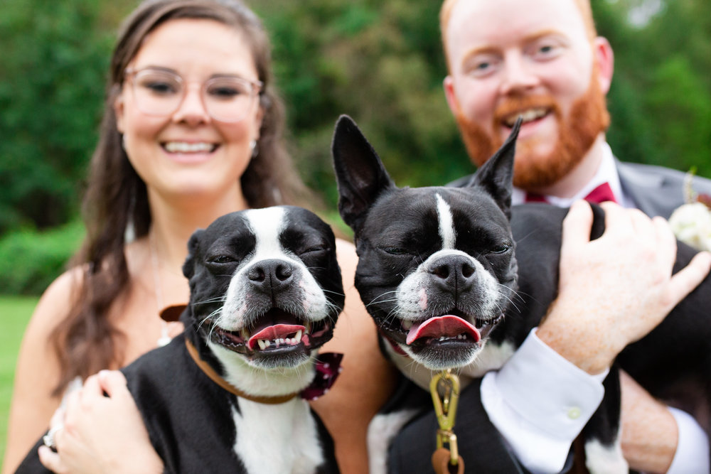 Wedding photo with Boston Terriers