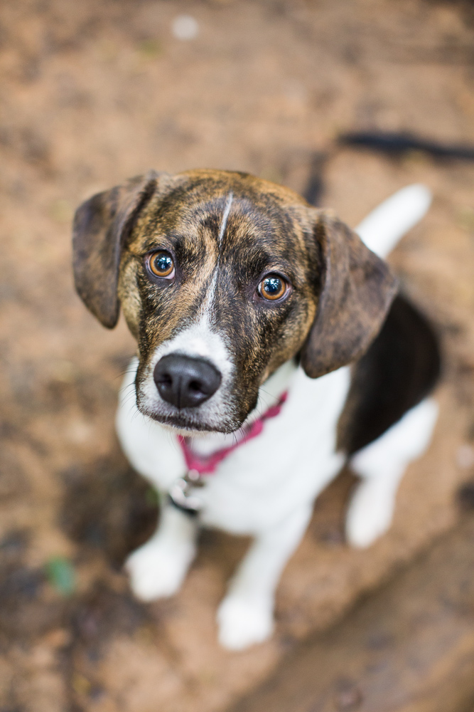 Sweet hound mix looking right at their camera during a hike at Scott's Run Nature Preserve | Northern Virginia Dog Photographer