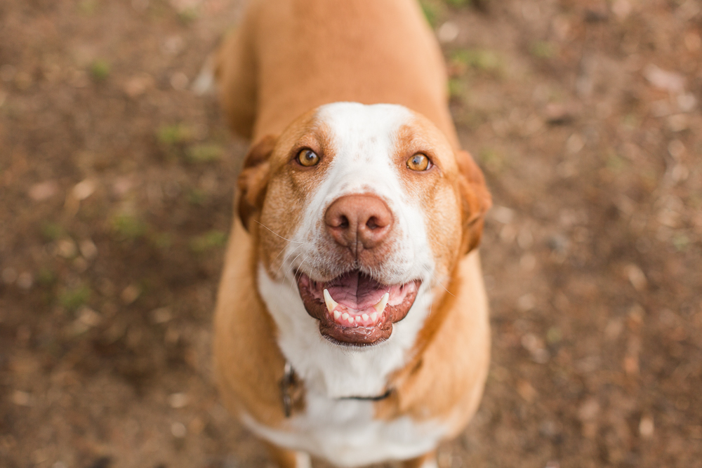 Orange hound rescue dog posing for a photo in Northern Virginia