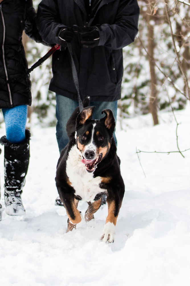 Happy Greater Swiss Mountain Dog running through the snow during a winter engagement shoot in Northern Virginia