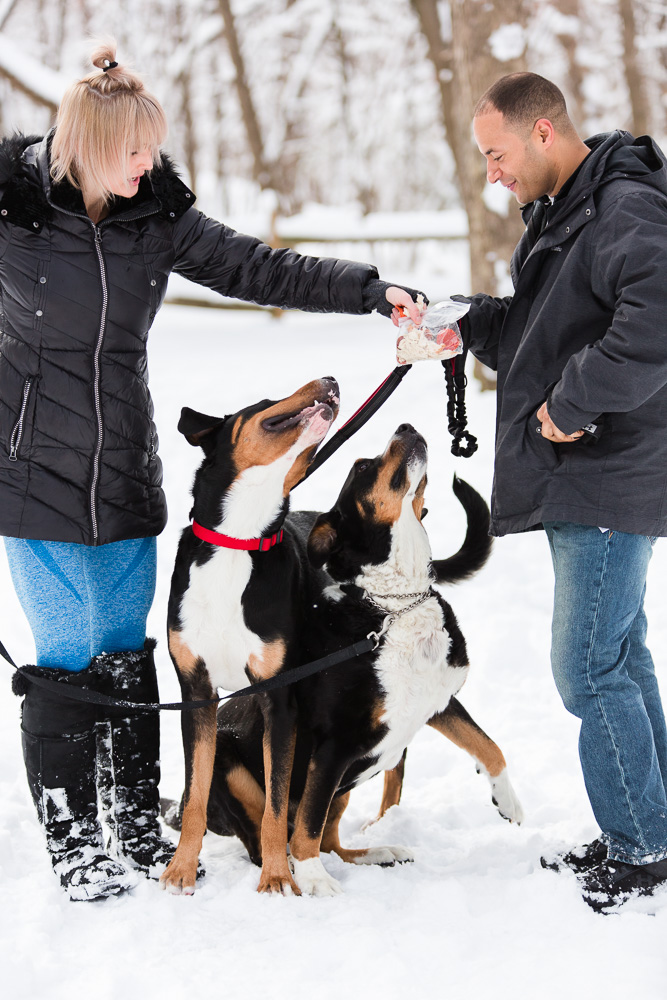 Greater Swiss Mountain Dogs looking at the bag of treats | Northern Virginia dog photographer