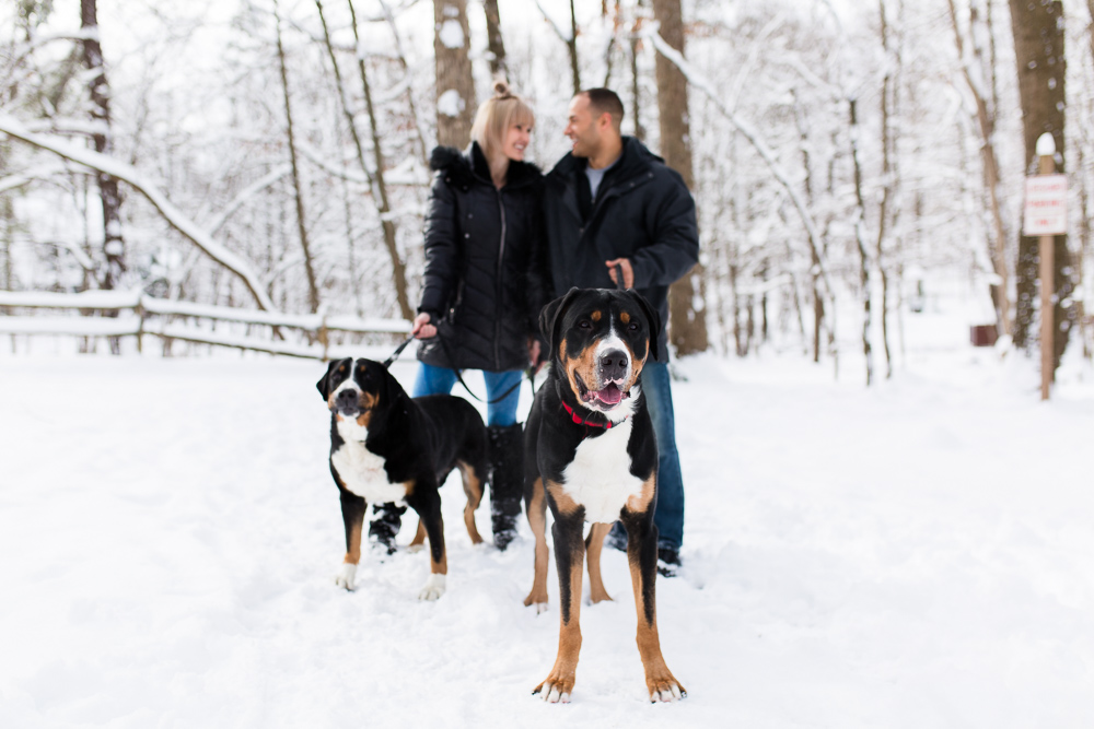 Greater Swiss Mountain Dogs posing in the snow during their parents' engagement shoot in Northern Virginia | DC dog photographer