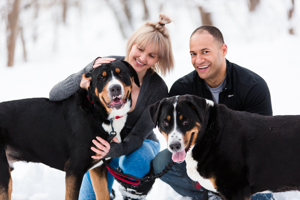 Happy family with Greater Swiss Mountain Dogs during a winter engagement session | Northern Virginia candid engagement photography