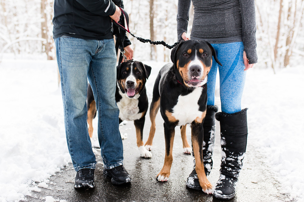 Big dogs enjoying a hike in the snow for their parents' engagement pictures | Northern Virginia engagement and dog photographer