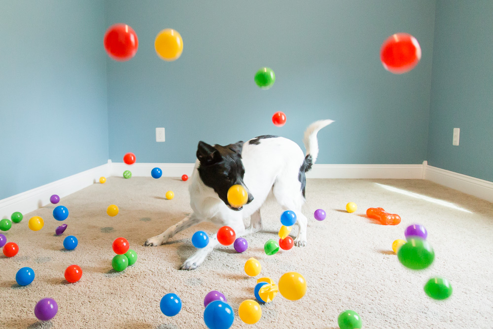 Fun photo of dog playing in a makeshift ball pit in the spare bedroom | Fun DC dog photographer
