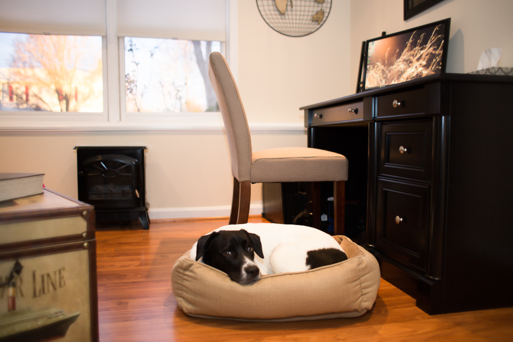 Rescue dog curled up in a tiny dog bed