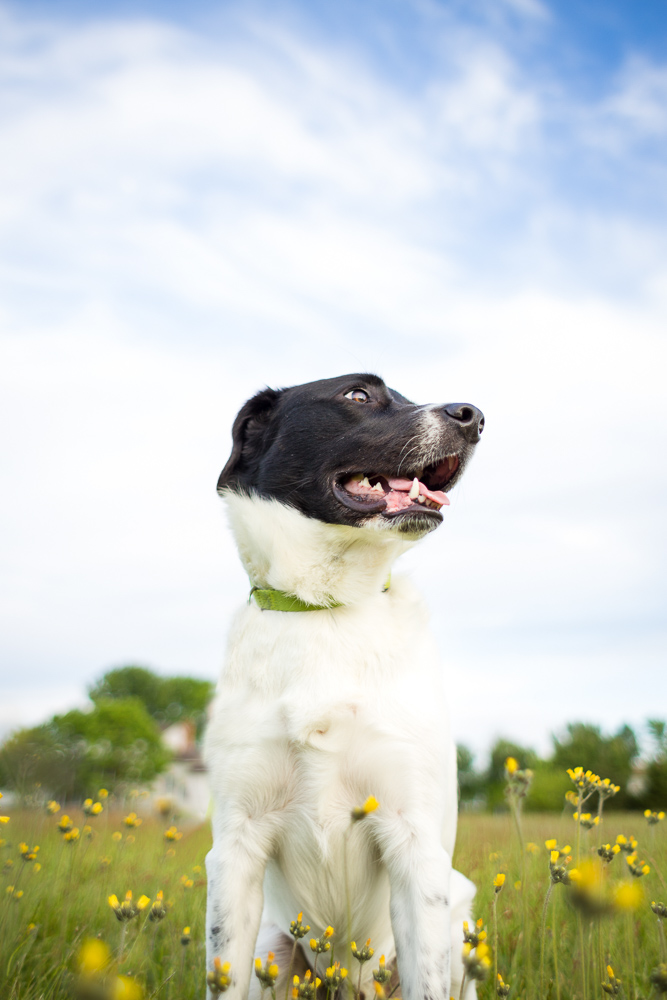 Happy dog in field of yellow flowers