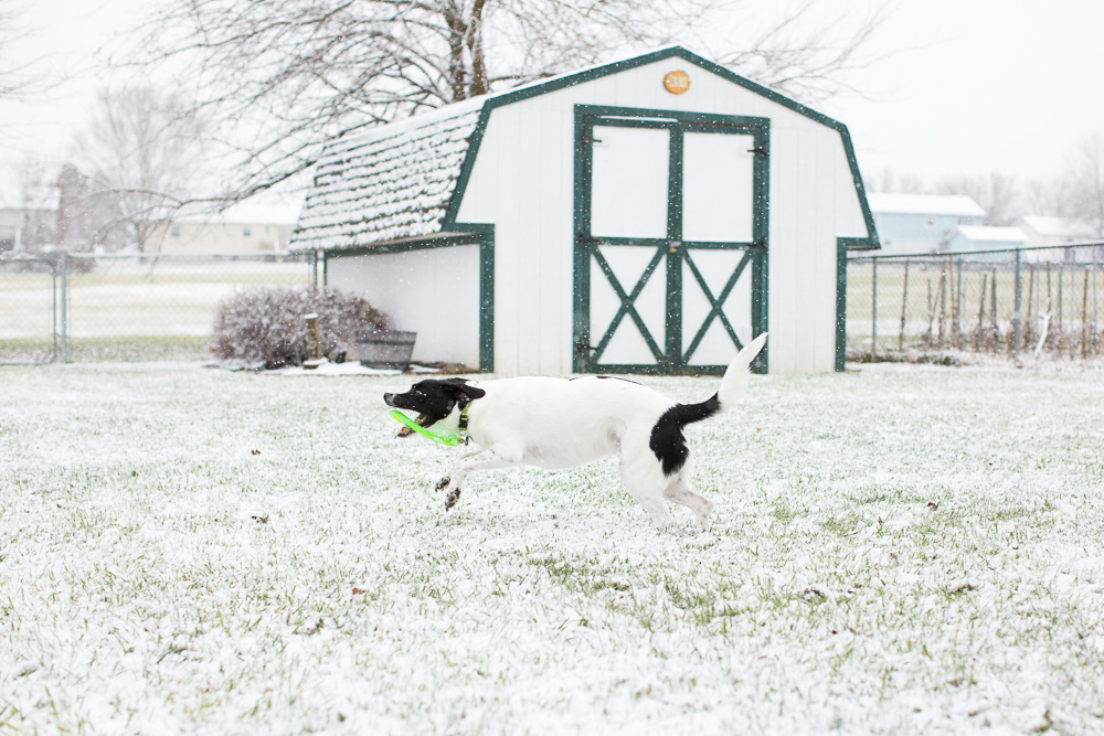 Action shot of dog running with a frisbee through the snow in Bealeton, Virginia