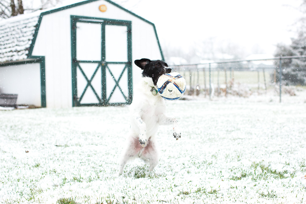 Dog catching a soccer ball in his mouth while playing in the snow | Northern Virginia lifestyle dog photographer