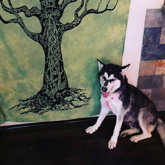We have a beautiful Husky girlie named Amelia here at blossom animal rescue who just had a great wellness check and is ready to start meeting some potential adopters !!!!! She loves visitors, has been great with the other dogs and is very loyal . She doesn't run away and can be left to roam the property with no issues and comes back to back in every 15 mins or so. Excellent in the car and a darling cuddler too. #adopther🎀 she was also amazing in the plane on her rescue flight over too !!