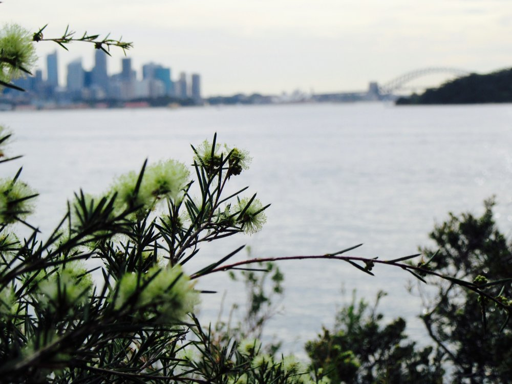 Wattle, a native Australian flower, and the sites of Sydney in the background.