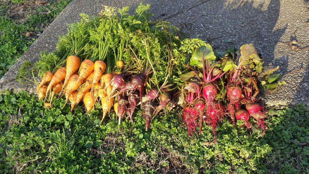 Carrots and Beets from the Fall Garden...