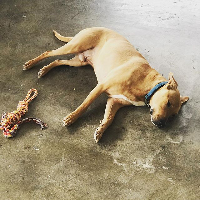 Very good dog, Levi joined today in our new offices/studio. After dealing with us, it's safe to say he's gonna play dead any time @hoopshu mentions WAL. #stl #dogs #stldogs #explorestlouis #stlouisonly #fun #goodtimes #workdog #saintlouis #missouri #sleepy #instadog #dogsofinstagram #media #midcoastmedia #studio #bark #redsawpublicity