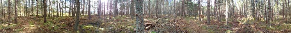 Panarama of the pine wood scene © Will Ashley-Cantello