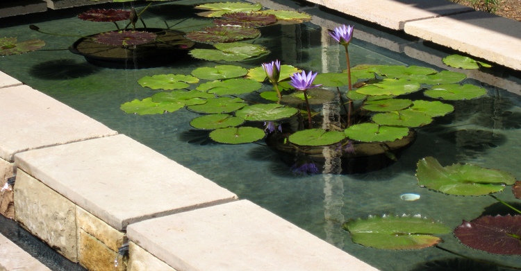 A serene reflecting pond with tropical water lilies installed in our client's home in Santa Monica Canyon