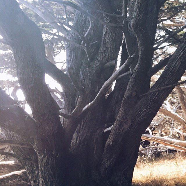 In the cyprus grove . . . . . . . . . #nature #vsco #vscocam #mextures #mexturesapp #iphoneonly #explore #create #createexplore #grid #instagrid #california #westcoast #bigsur #trees #instagood #pointlobos #route1 #adobe #photoshop #travel