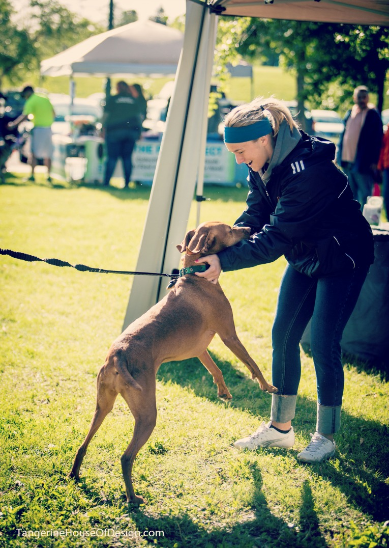 Matilda the Vizsla gets ready for the 5K in St Paul