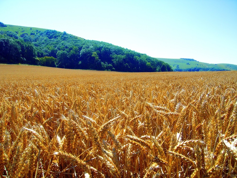 Fields-of-Gold.jpg
