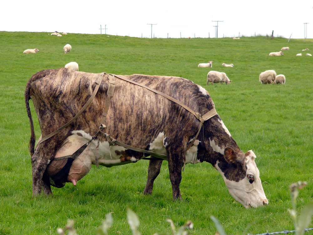 Cow_in_Iceland.jpg