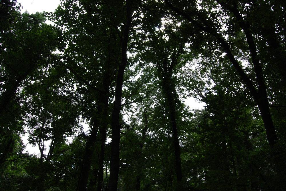 treesabove.JPG