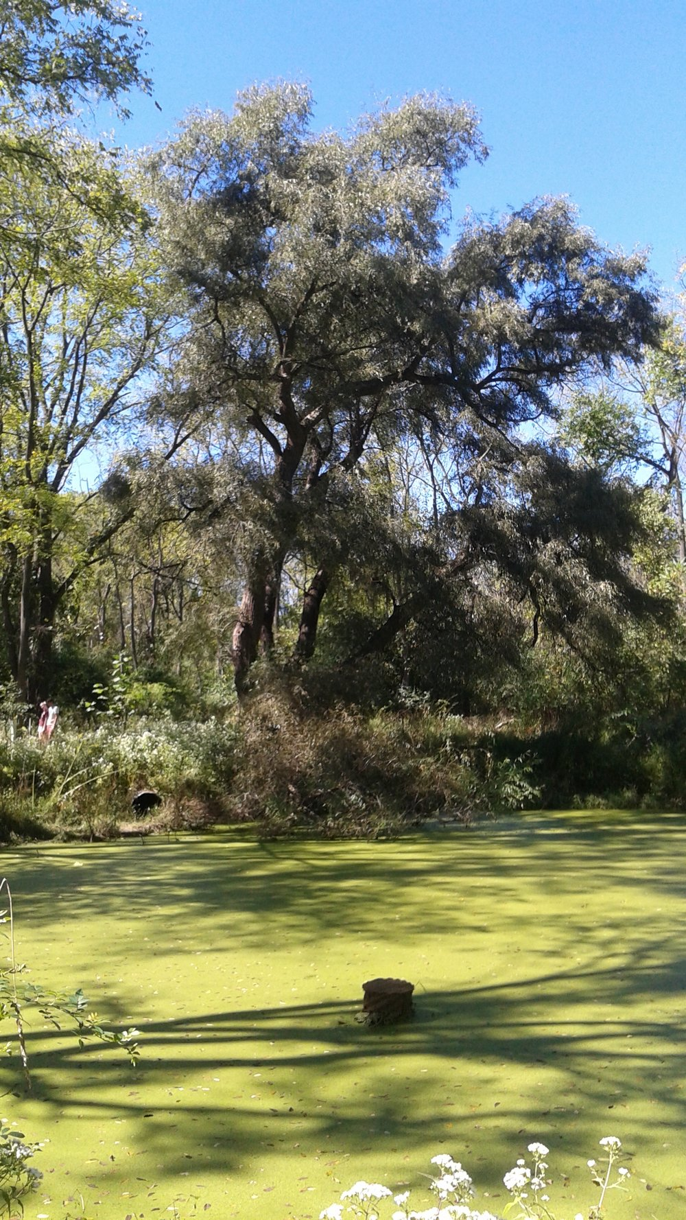 Small Pond Willow.jpg