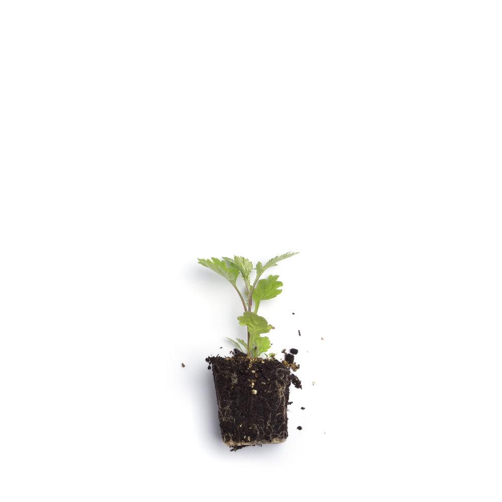 Plantones_Naked_12.jpg