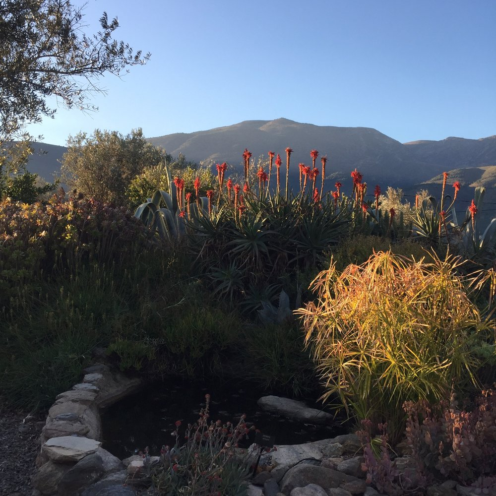 Dawn light on the papyrus grass and aloes with the Sierra Lújar behind