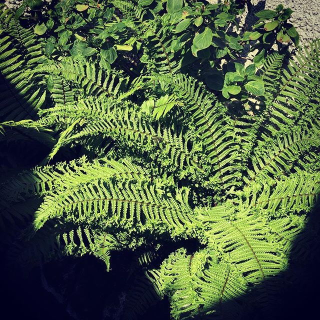 The ferns have unfurled... #unfurlingfern #unfurlyourself #unfurlyoursail #unfurlyourinnerninja