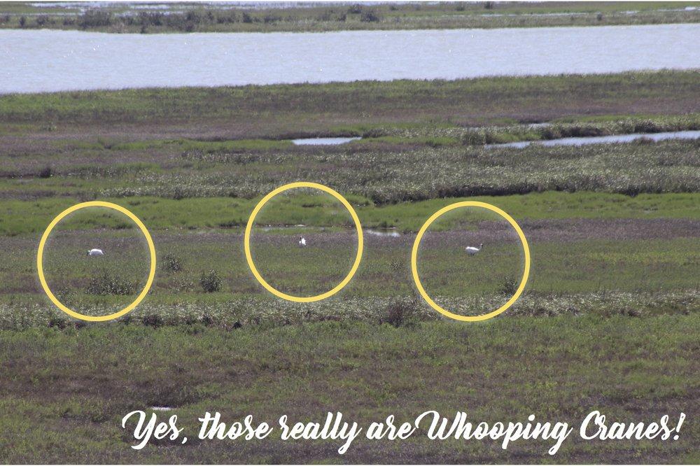 Whopping Cranes copy.jpg