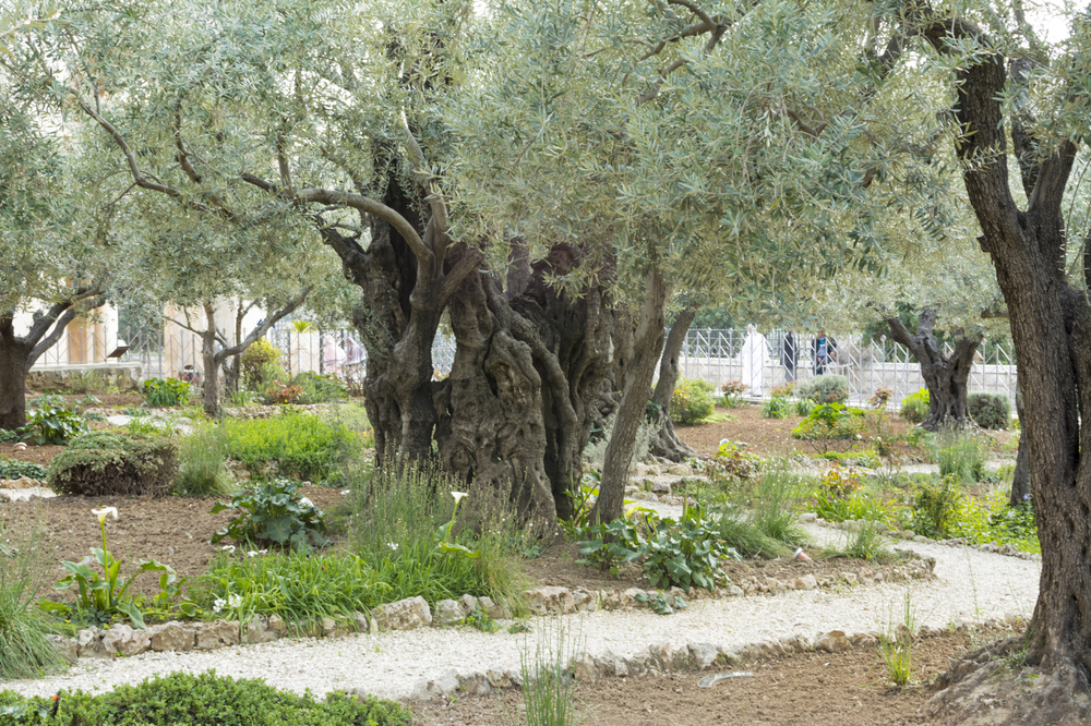 The Garden of Gethsemane - Holy Land Lessons — Believing at Midnight