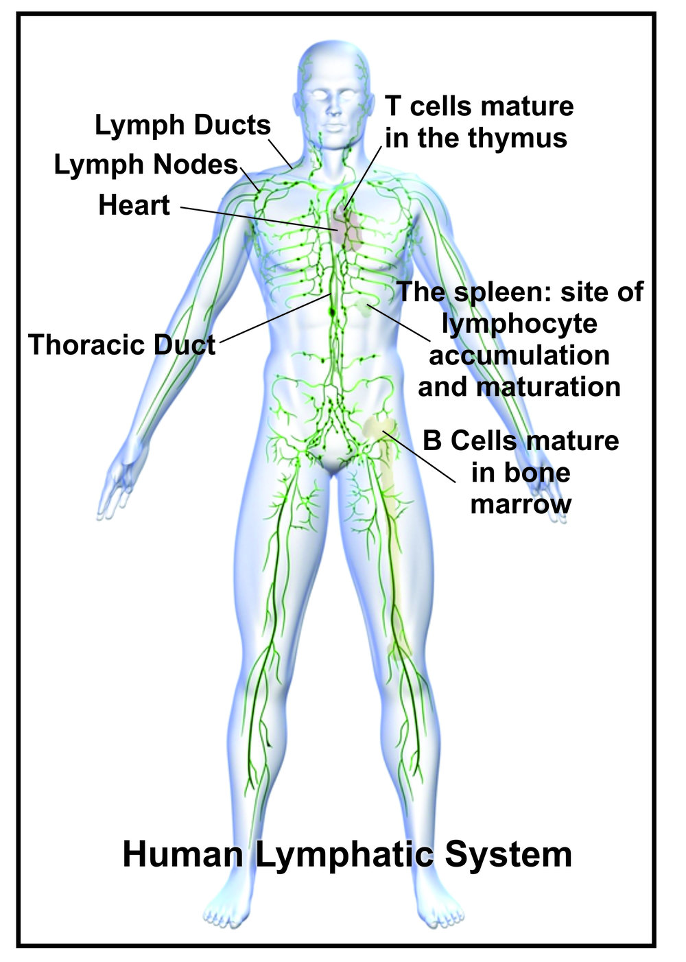 Learn How To Look After Your Lymphatic System Cromwell Chiropractic
