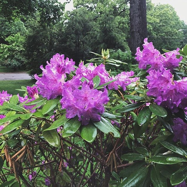 So much beauty in the contrast of these vivid blooming rhododendrons and the dreary overcast skies today 🌸🌧#nature #spring #inbloom #color #colorstory #colorworld #colorgram #feedgoals @adobespark @tailwindapp