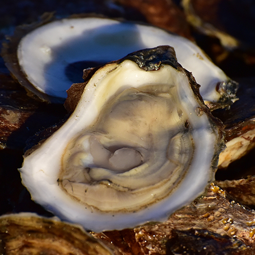 finest selection 66c9a 4d8ff With a devoted crew we work year round providing our customers with fresh  and reliable shellfish. While we are primarily an oyster company, we also  offer ...
