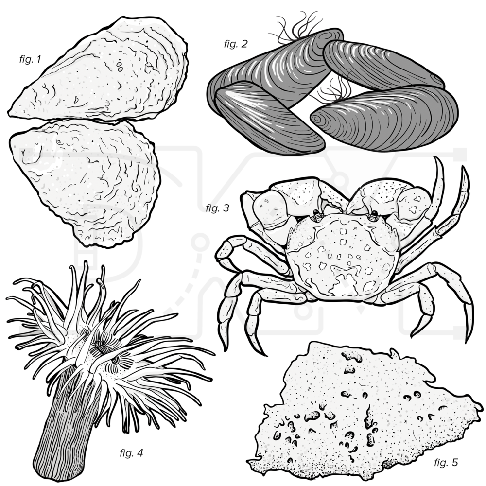 1: Oysters, 2: Mussels, 3: Crab, 4: Sea anemone, 5: Sponge