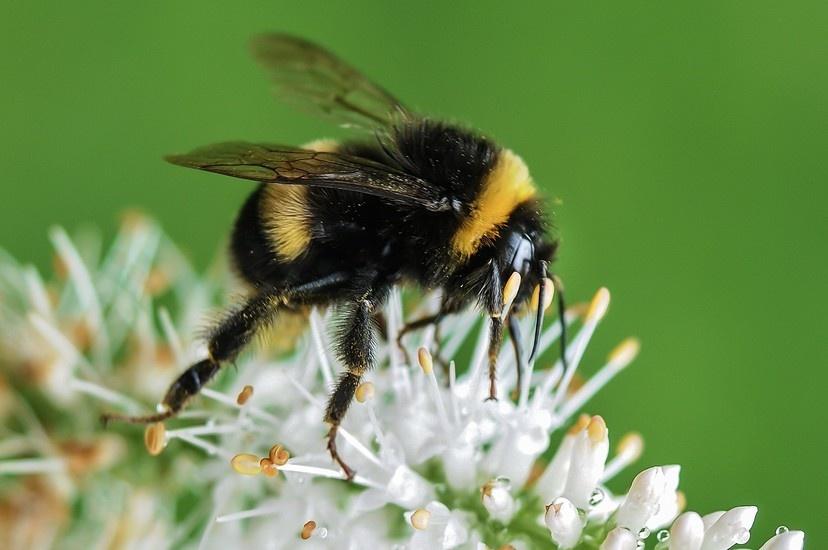 bee-bumblebee-insect-macro-large