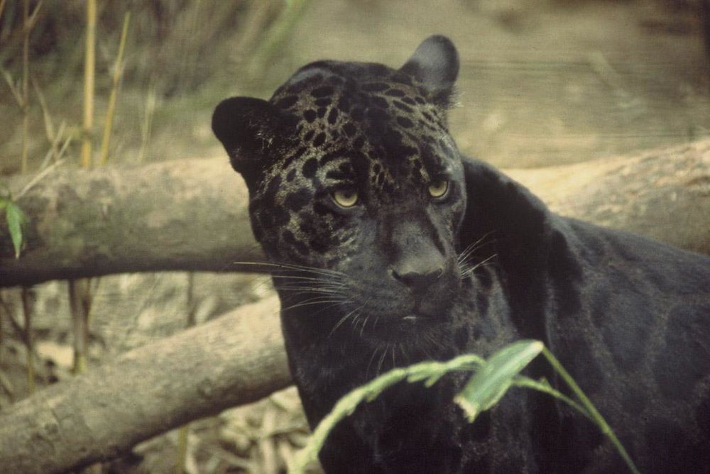 Melanistic jaguar. In the right light, you can still see the rosette-shaped spots! Photo by Ron Singer.