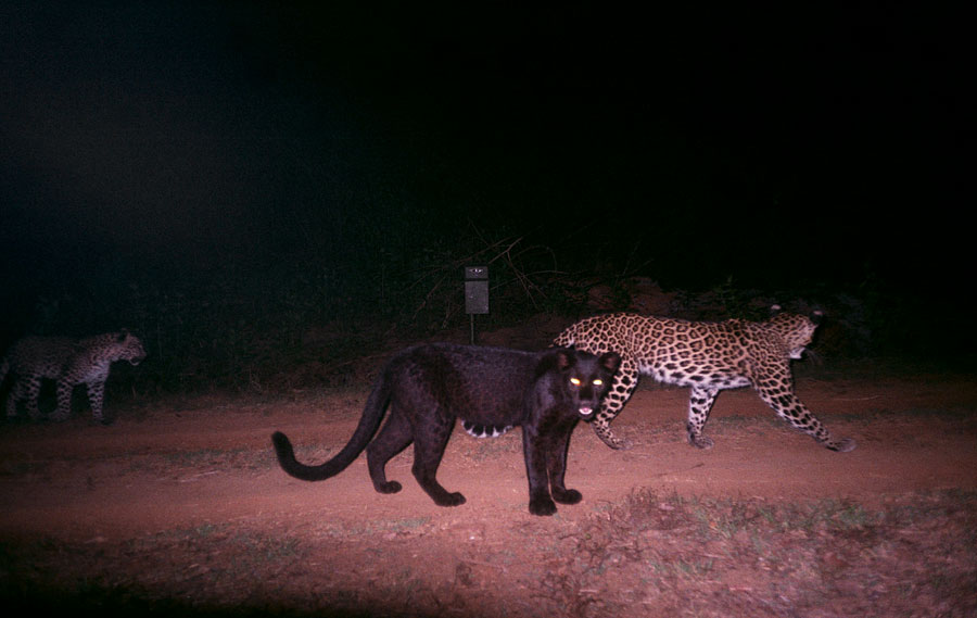 A melanistic leopard stands in stark contrast to the normal phenotype. Taken at the Kali Tiger Reserve in India by the National Tiger Conservation Authority.