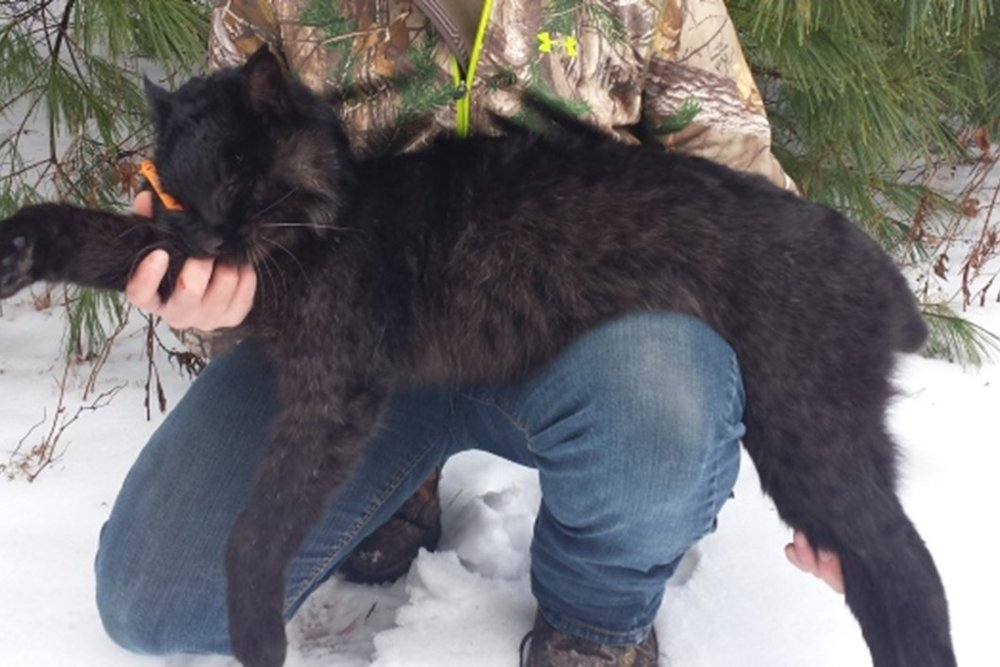 This melanistic bobcat was legally trapped in 2016 in New Brunswick, Canada.