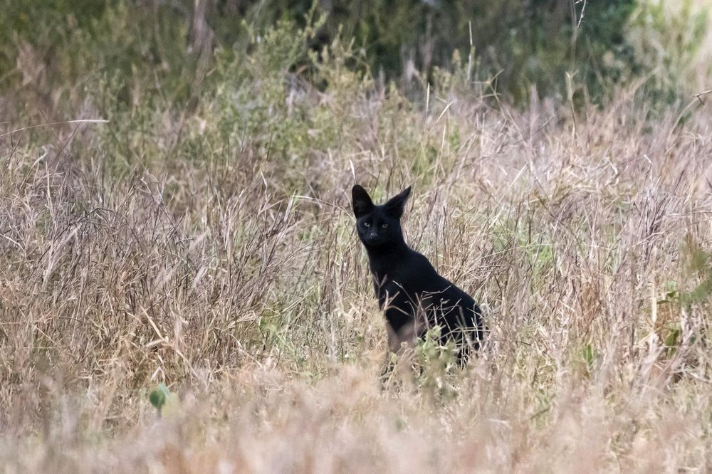 A black serval seen in Kenya. Photo by Sergio Pitamitz