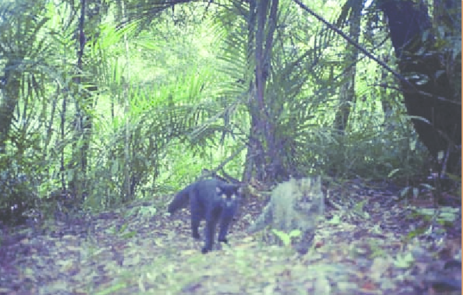 Melanistic cat alongside a normal phenotype marbled cat in Bukit Barisan Selatan National Park, Indonesia. Photo by Hariyo Wibisono and Dr. Jennifer McCarthy.