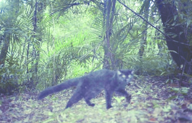 Camera trap image of a melanistic marbled cat in Sumatra, Indonesia. Photo by Hariyo Wibisono and Dr. Jennifer McCarthy.