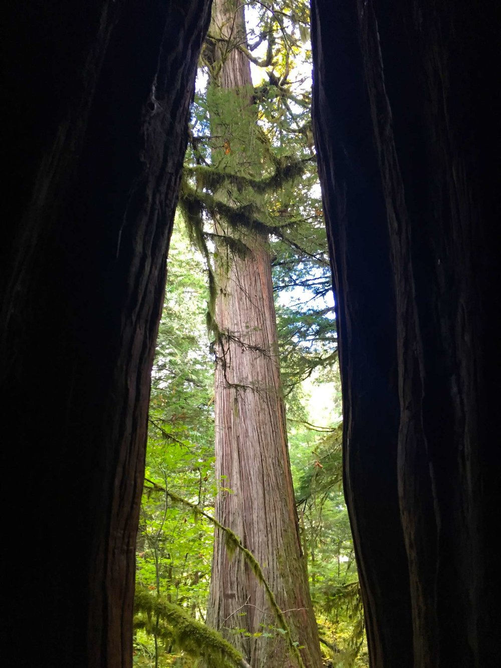 A tree from inside a tree, photo by Derek Wright.