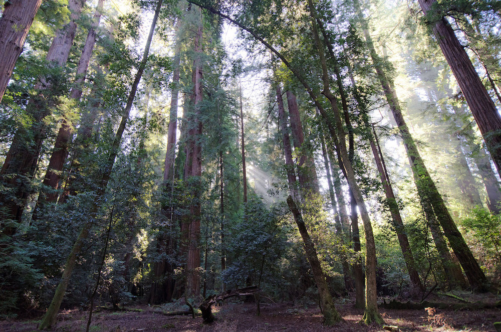 Henry Cowell Redwoods State Park ,  photo  by browniesundae / CC 2.0