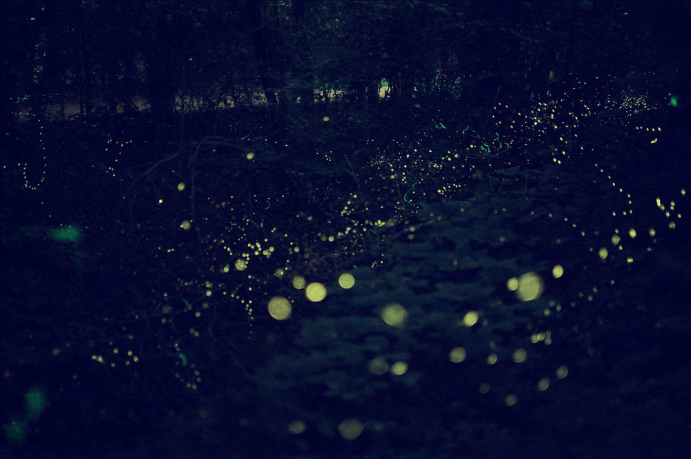 The Blue Ghost Fireflies of Western North Carolina