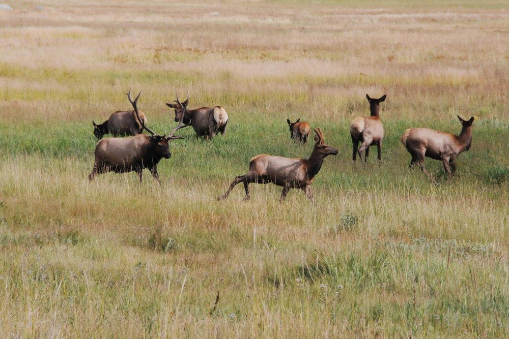 Elk at Rocky Mountain National Park, photo by Courtney Johnson.