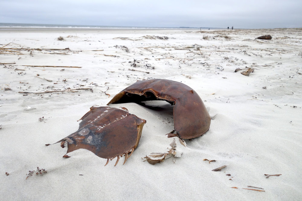 Horseshoe crab, photo courtesy Joseph Bryan.