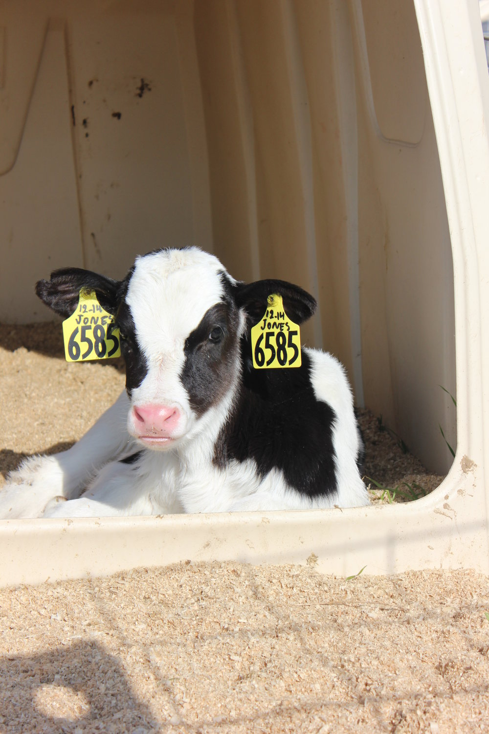 Start them right in the world's leading provider of calf housing solutions. - Strong and durableOpaque for protection from UV raysEasy to clean and sanitizeConstructed for air flow and user efficiencyA healthy choice for healthy calf environments.